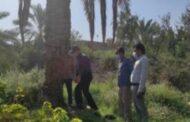 محقق بخش گیاهپزشکی مرکز تحقیقات و آموزش کشاورزی ، وضعیت آلودگی نخلستانهای منطقه احمدی به سوسک حنایی خرما را بررسی کرد.