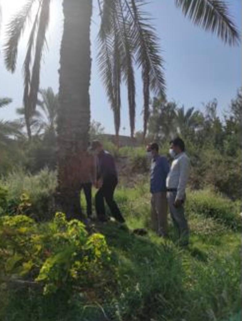 محقق بخش گياهپزشكي مركز تحقيقات و آموزش كشاورزي ، وضعیت آلودگی نخلستانهاي منطقه احمدي به سوسک حنایی خرما را بررسي كرد.